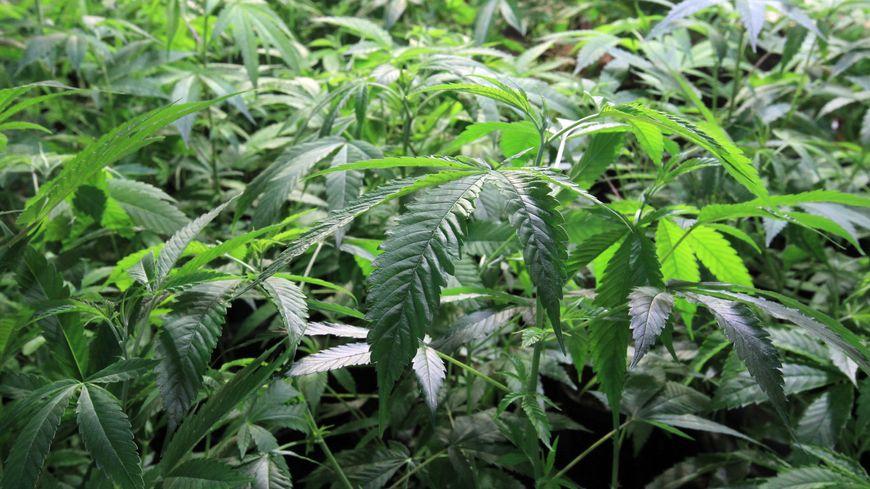 Plants de cannabis (photo d'illustration).