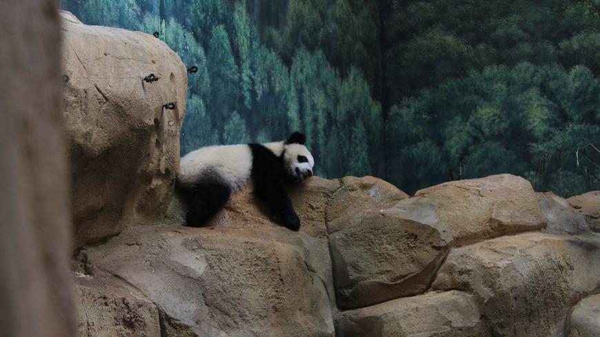 Photos Zoo De Beauval Un An Après La Naissance Du Bébé Panda