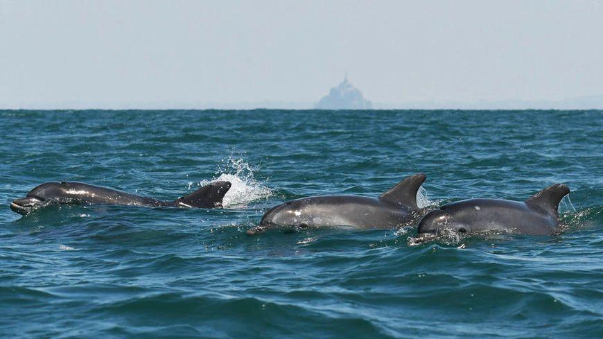 Des dauphins photographiés dans la baie du Mont-Saint-Michel.