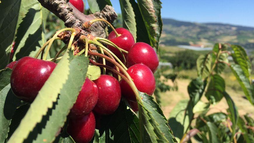 Les premières variétés de cerises (ici dans un verger de Cellieu) sont convoitées par les voleurs.
