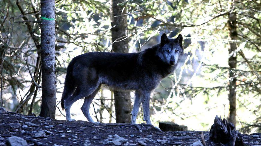 De nombreuses  attaques de loup sur le Mont Lozère pendant les estives. Une cinquantaines de bêtes portées disparus au total en juillet et aout.