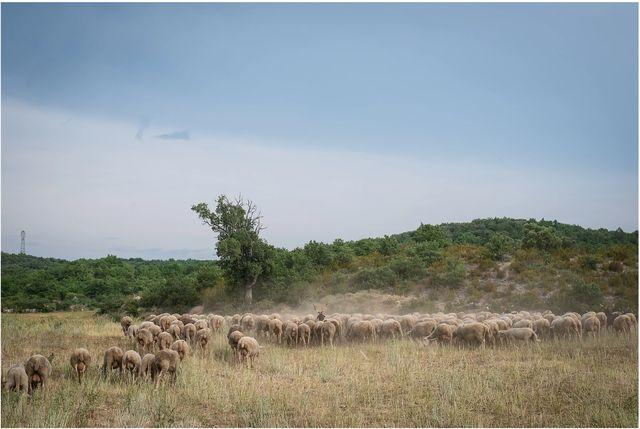 Moutons pendant la transhumance