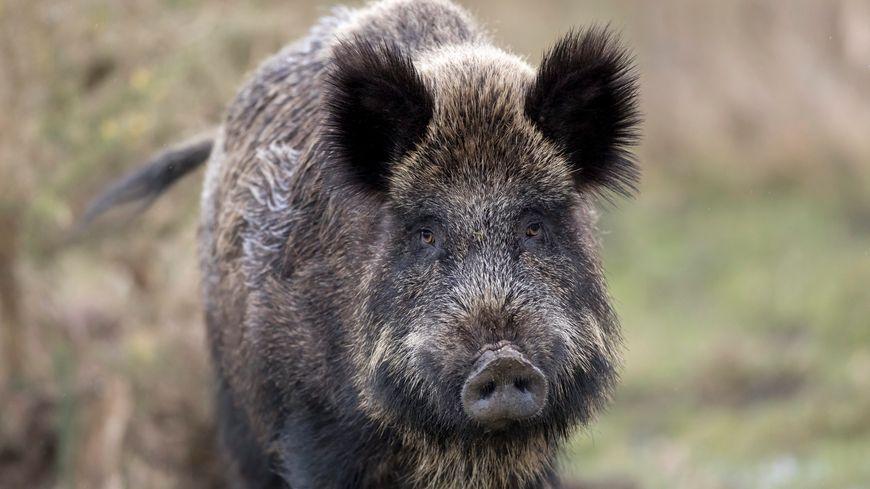 Le sanglier est un mammifère omnivore, amateur de maïs, il est plus dangereux pour les cultures que pour les hommes