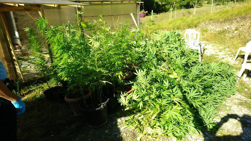 Une serre contenant une centaine de pieds de cannabis à Teyssières dans la drôme.