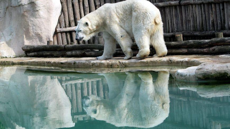 L'un des deux ours blancs du Zoo d'Amnéville
