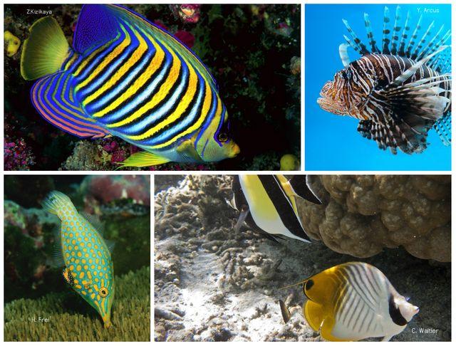 Le poisson-ange, la rascasse volante, le poisson-lime, et le poisson-papillon (de gauche à droite et de haut en bas) font partie des espèces les plus belles selon l'étude.