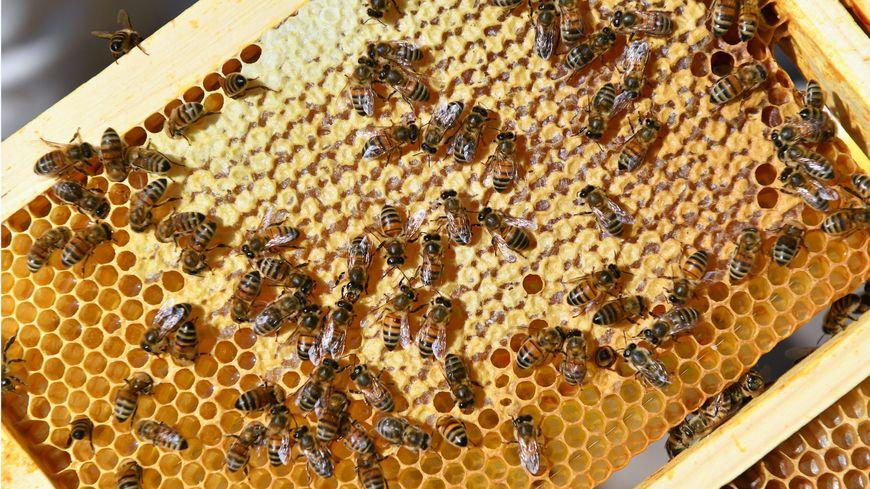 un apiculteur haut viennois se lance dans l 39 aventure bleu blanc r che avec a montebourg. Black Bedroom Furniture Sets. Home Design Ideas