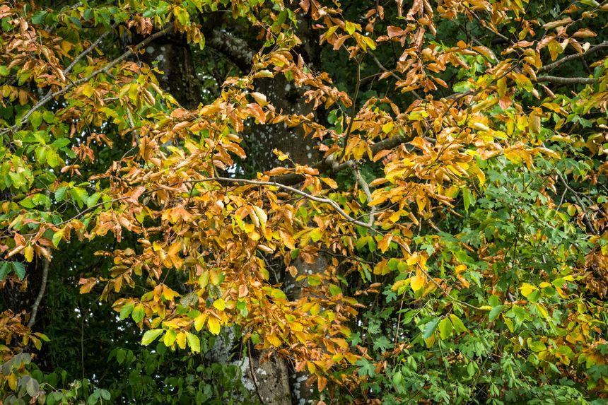 Processus de défense des arbres face au manque d'eau, ils se placent en stress hydrique. Ils diminuent le nombre de feuilles pour limiter leur consommation en eau, août 2018.