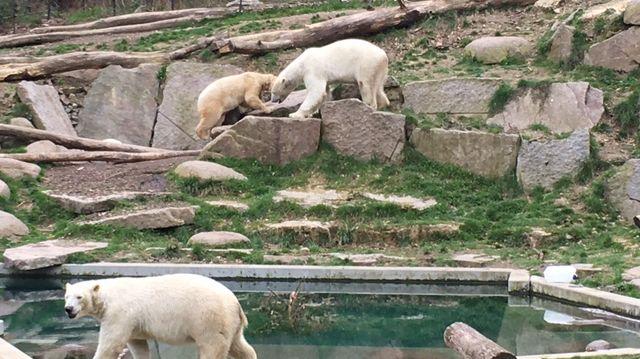 Les ours blancs du zoo de Mulhouse
