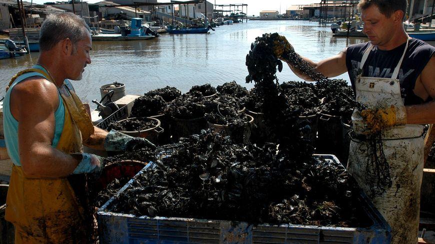 La malaïgue asphyxie algues et coquillages. Ce phénomène naturel résulte des grosses chaleurs et de l'absence de vent.
