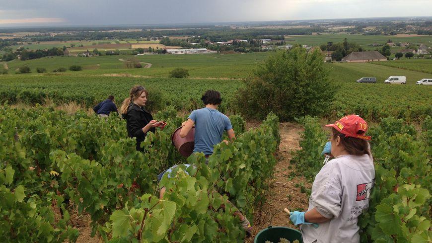 Dans les vignes d'Aloxe-Charlemagne, titulaires du RSA travaillent aux côtés des étudiants mais aussi de retraités.