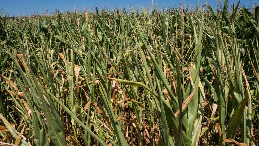 Les prélèvements agricoles autorisés pour l'irrigation doivent être réduits de 15%.