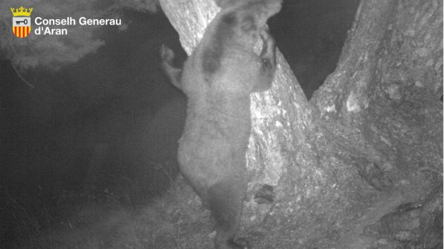 Un ours dans les Pyrénées. Capture d'une caméra nocturne.