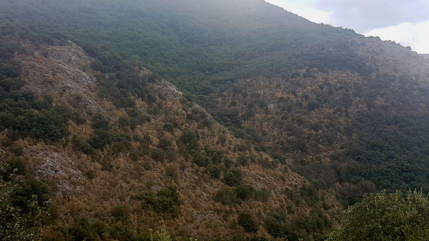 Sur les hauteurs de Riols, les buis asséchés après le passage des pyrales