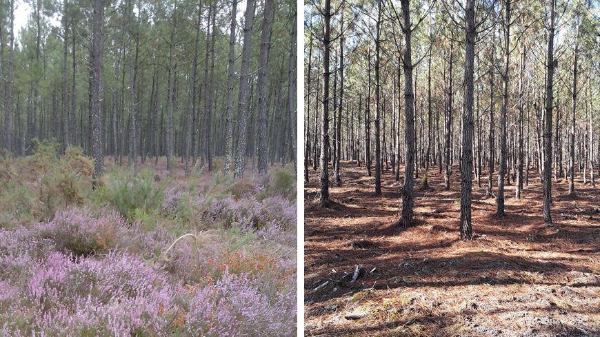 Avant et après l'utilisation du glyphosate en forêt