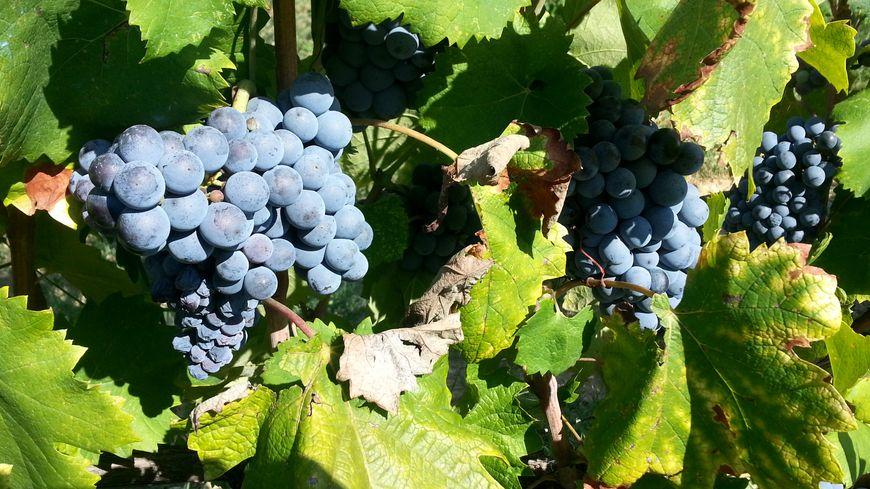 Grappes de raisins dans une vigne prés d'Orange