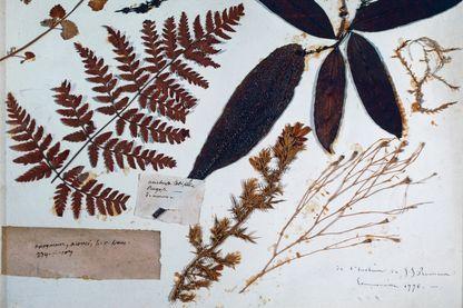 Page de l'herbier d'Ermenonville, 1776, par Jean-Jacques Rousseau (1712-1778), France, XVIIIe siècle