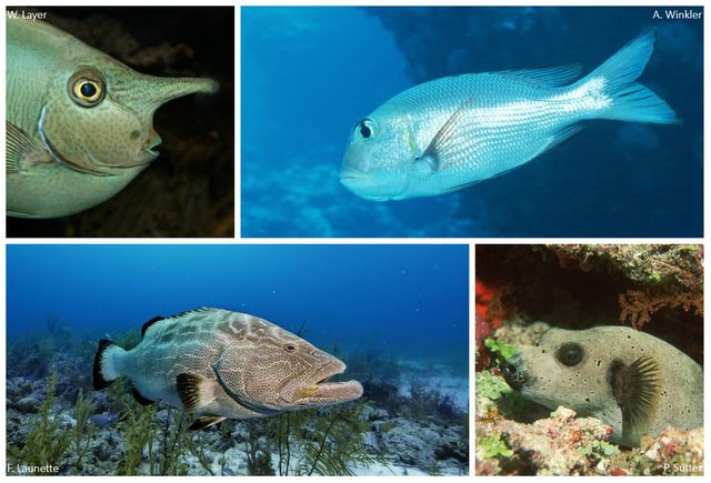 """Le nasique, l'empereur gros-yeux, le mérou noir, ou le poisson-ballon (de gauche à droite et de haut en bas) font partie des espèces les moins """"attractives"""" selon l'étude."""