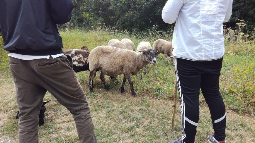 Arthur (à droite) veille sur les moutons pour la première fois