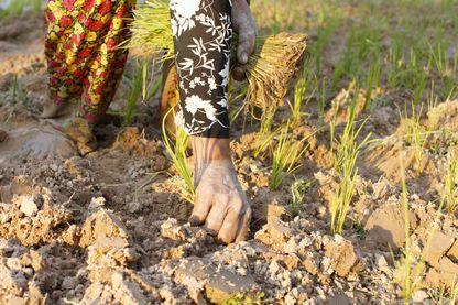 Au Cambodge, les petits producteurs de riz ne s'en sortent pas