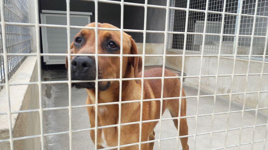 Un chien attendant d'être adopté, au refuge de Vitré en Ille-et-Vilaine.