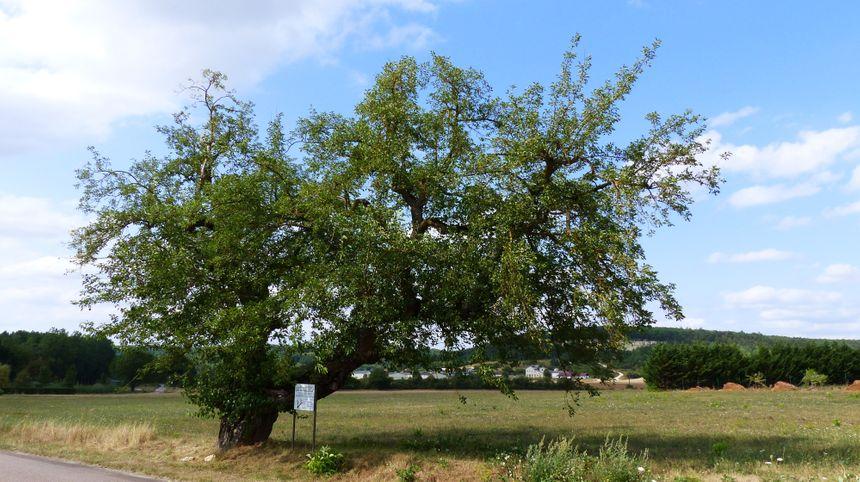 """Le mûrier blanc de Chassignelles a été planté en 1750. Il est classé """"arbre remarquable"""" depuis 2000."""