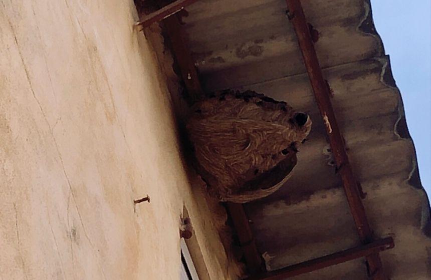 Un nid de frelons asiatiques dans le Var