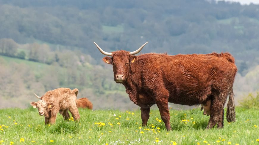 Une vache Salers et son veau