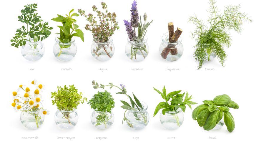 Hélène adore les plantes aromatiques.