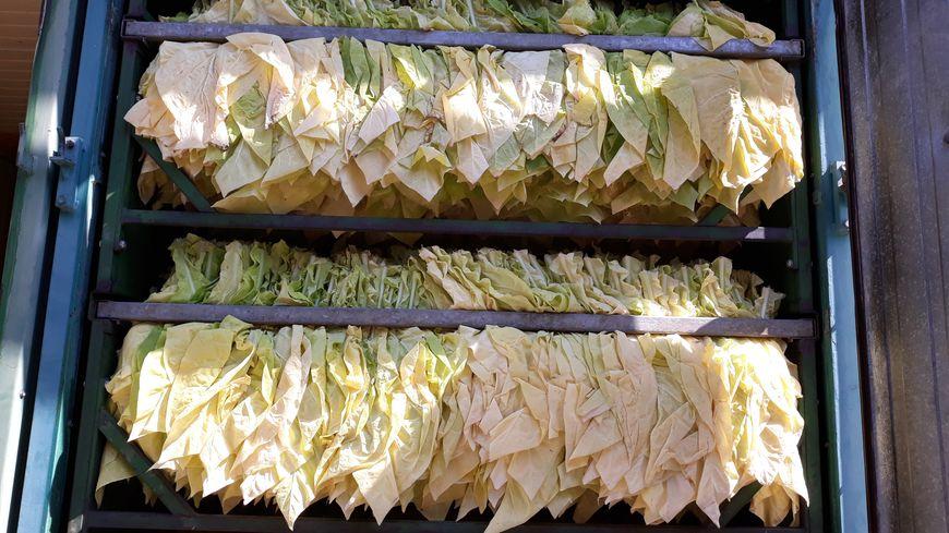 Huit jours de four et les feuilles de tabac passent du vert au jaune