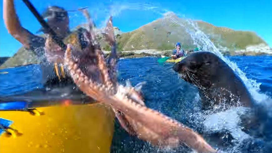 Vidéo insolite d'un kayakiste giflé par une otarie avec un poulpe.