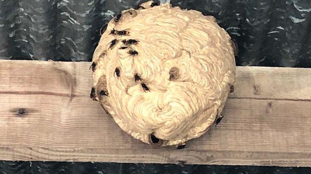 Un nid de frelons asiatiques peut mesurer près d'un mètre de long