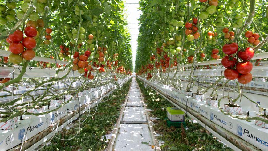 5ee4ff90cee05d La production de tomates hors sol