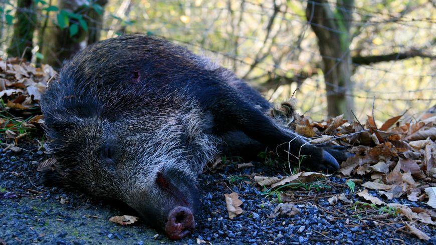 Sur 44 carcasses analysées, 18 sangliers ont été décelés positifs à la peste porcine africaine