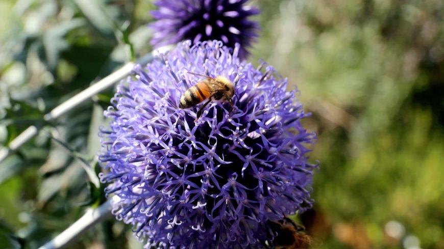 Les abeilles corses toujours menacées