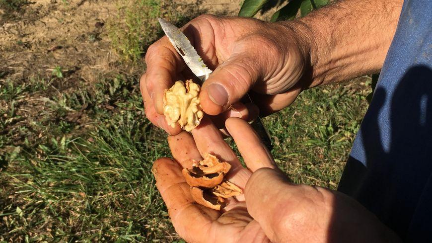 Les noix sont bien remplies