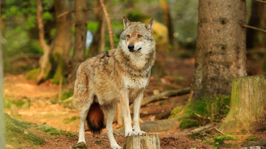 Le nombre de loups augmente en France mais le nombre de prédations reste plutôt stable