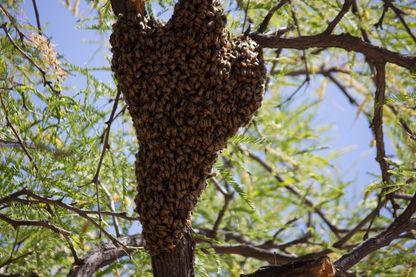Un essaim d'abeilles