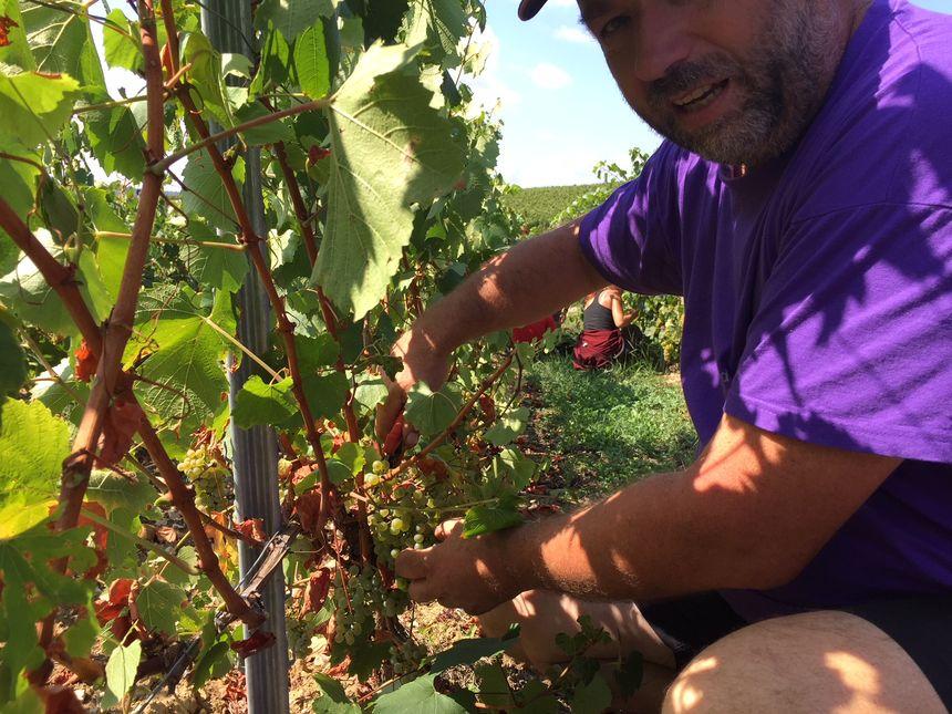 Denis Grandvaux cueillent les raisins