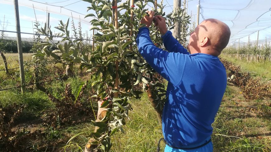 Adam, ouvrier agricole polonais employé pour la saison de la cueillette, s'occupe du pliage des pommiers