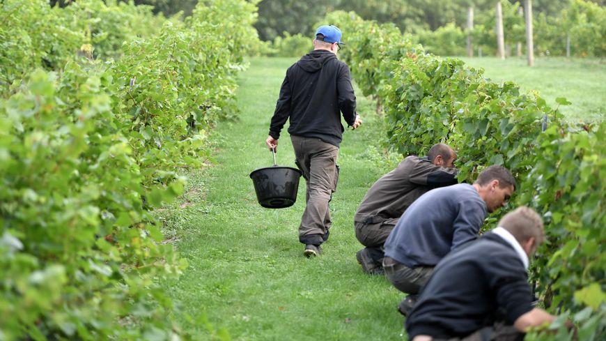 Dans la viticulture tourangelle, 9 embauches sur 10 sont saisonnières