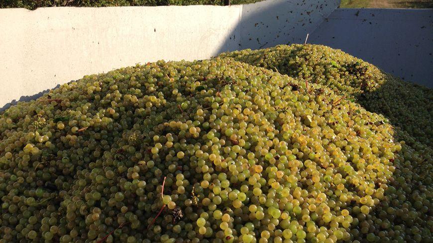 Les raisins blancs fraîchement récoltés ce mercredi matin à Monetay-sur-Allier