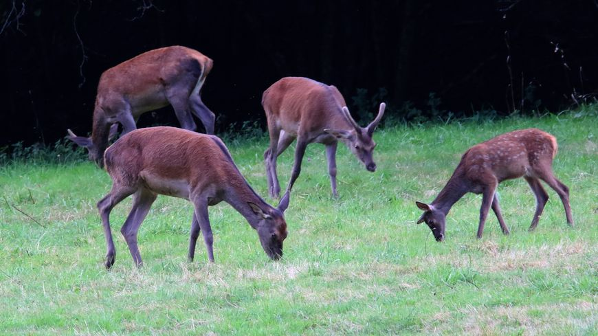 Une cinquantaine de cerfs de Vernierfontaine ont réintégré leur enclos (photo d'illustration)