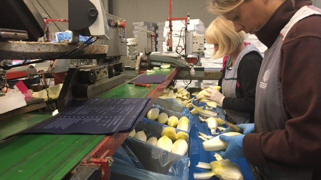 Les producteurs d'endives figurent parmi les premiers employeurs de main d'oeuvre agricole dans le Nord
