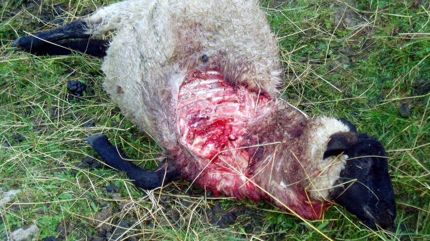Une brebis tuée par un loup