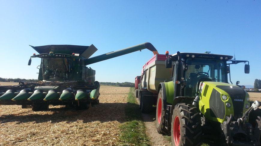 La récolte de maïs en Alsace, à l'est de Colmar