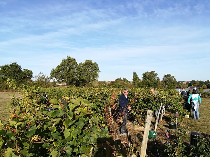 Vendanges dans le vignoble de la Morinière