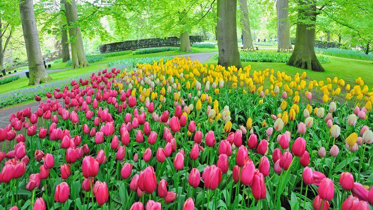 Des tulipes au milieu d'un parc.