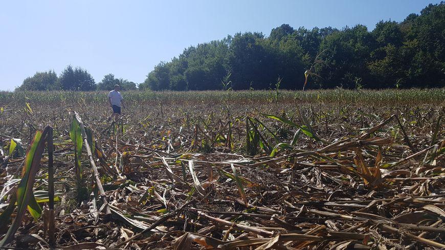 Dans son champ de six hectares, Florent Claudel a perdu un hectare de maïs, ravagé par une quinzaine de sangliers