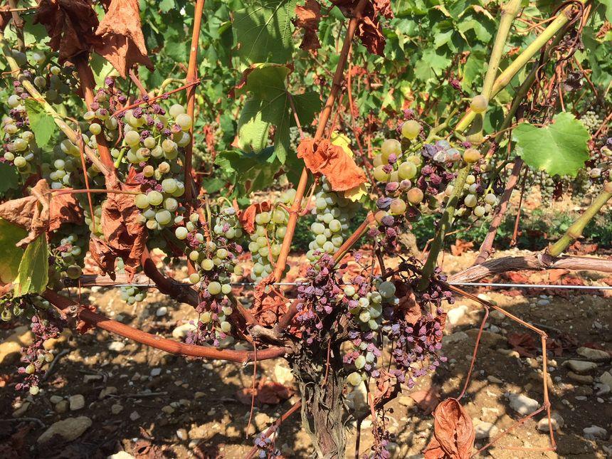 Certains raisins sont flétris à cause de la sécheresse de cet été